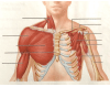 Superficial Musculature of Shoulder and Thorax