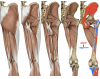 Posterior muscles of glute, hip, and thigh
