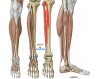 Muscles of anterior compartment and lateral leg