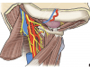 Submandibular and carotid triangles of the neck