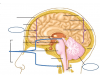 Four Main Parts of the Brain