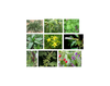 Poisonous Plants to the Horse