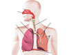 Respiratory System Labeling Interactive